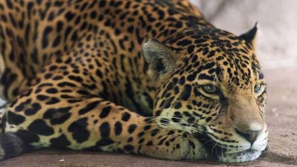 Por la disminución de su población en todo el continente, el jaguar es considerada una especie