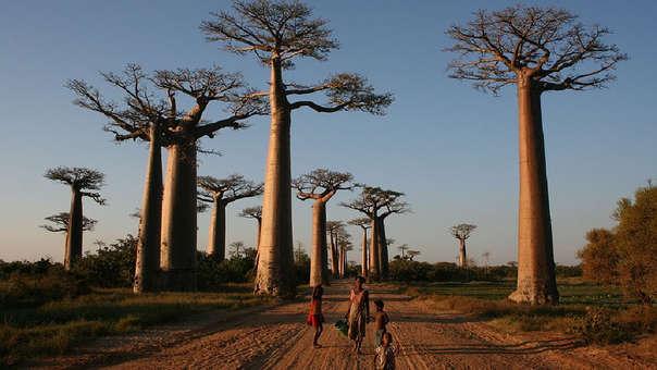 Callejón de los baobabs en Madagascar