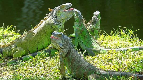 Iguanas verdes cerca a un lago