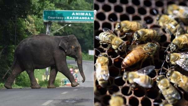 Abejas para proteger elefantes