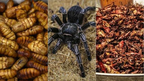 Gusanos de seda, tarántulas y saltamontes, los insectos analizados en el estudio.