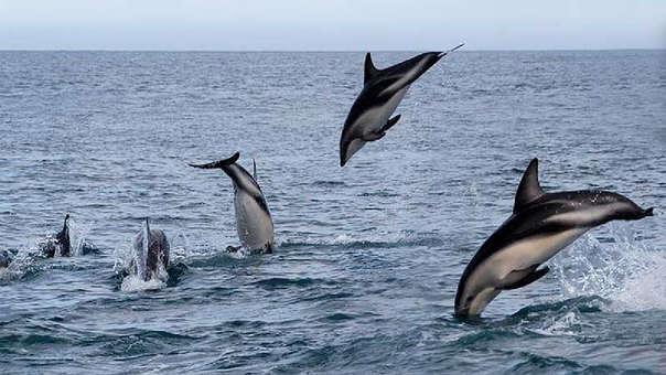 Delfines y marsopas en peligro de extinción son víctimas de la captura incidental en el Perú