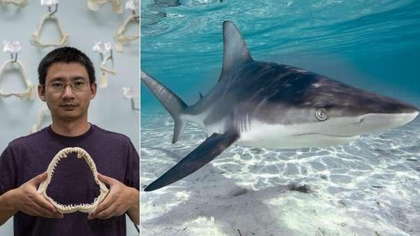 Izquierda: el científico Lei Yang, a cargo del laboratorio del Programa de Investigación de los Tiburones de Florida, muestra el diente del tiburón. Derecha: un tiburón de la especie que mordió al surfista.