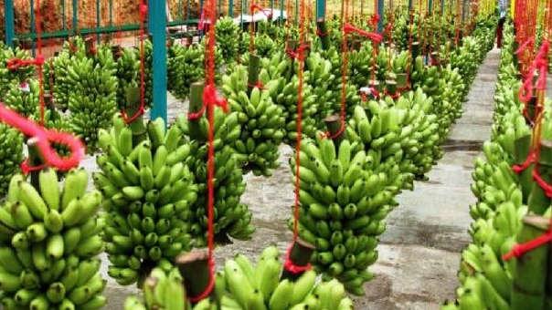 Producción de bananas