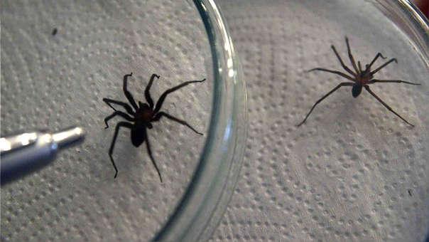 Arañas caseras