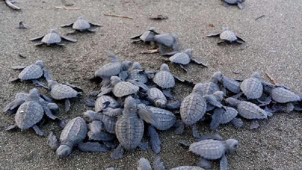 Crías de tortugas liberadas en playa de Panamá
