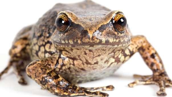 11 nuevas especies de ranas descubiertas en Ecuador