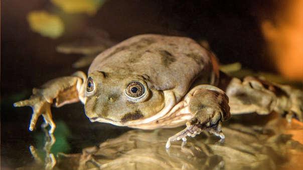 Fotografía de una rana gigante del Titicaca de zoológico de Praga.