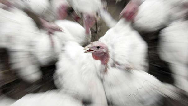 El SENASA exhortó a los transportistas y pasajeros que ingresan a Perú evitar introducir aves, huevos u otros productos avícolas sin la autorización correspondiente.