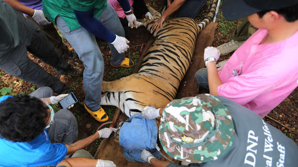 Tigres de Tailandia