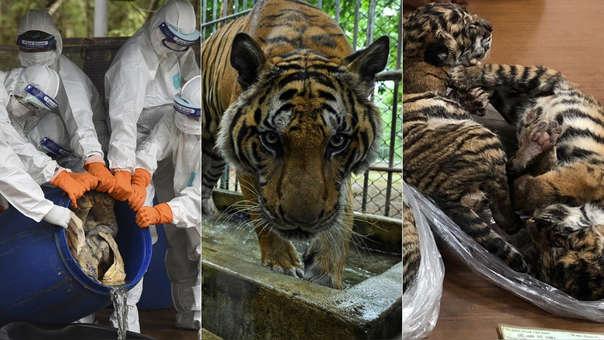 Uno de los tigres que sobreviven (centro). A su lado, restos de los felinos que han muerto tras ser rescatados del templo (izquierda) y otros que fueron rescatados (derecha).