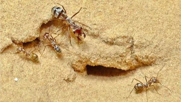 Hormiga plateada sahariana