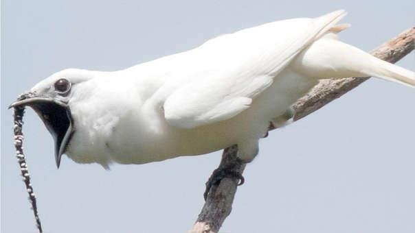 Así es el pájaro campanero