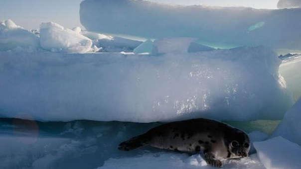 Foca del Ártico