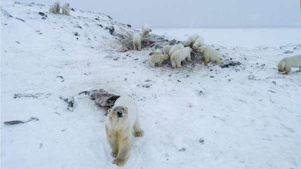 Oso polares