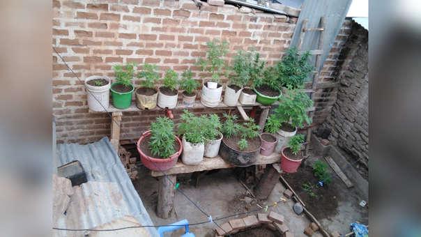 33 plantas de marihuana.