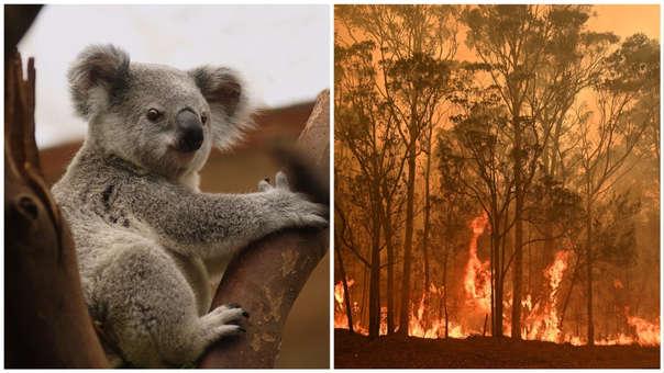 Australia | Incendios matan a la mitad de los koalas clave para su supervivencia | RPP Noticias