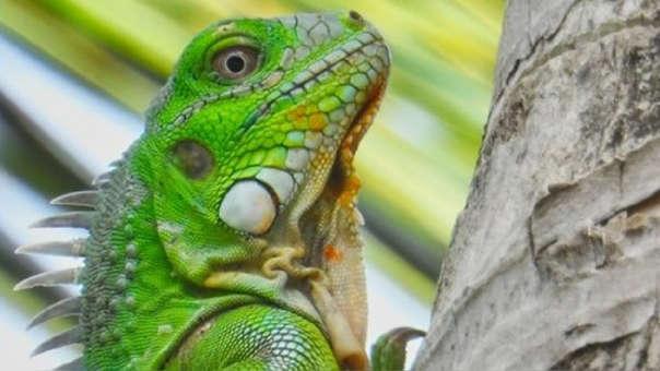 Alertan que iguanas caerán de los árboles