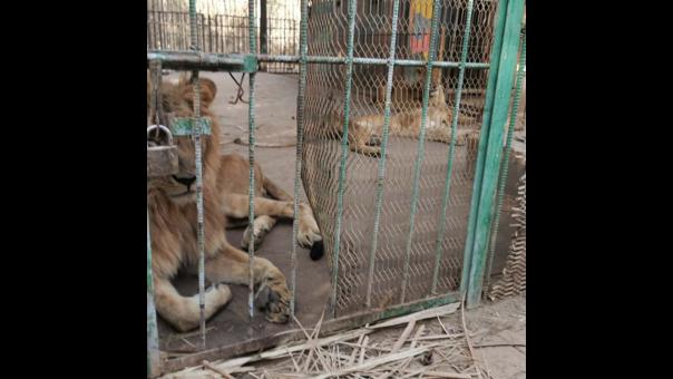 Leones en Sudán