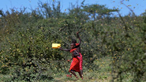 Plaga de langostas en África
