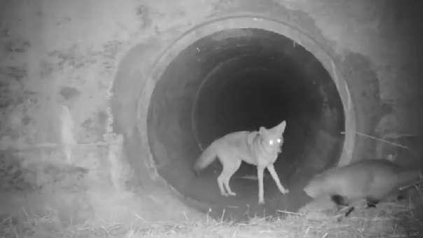 Una cámara captó a un coyote y un tejón cruzar un túnel juntos, y el momento se hizo viral en redes sociales.