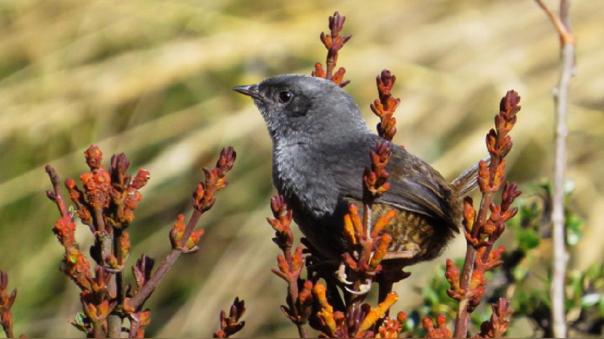 Descubren tres nuevas especies de aves en los andes peruanos.