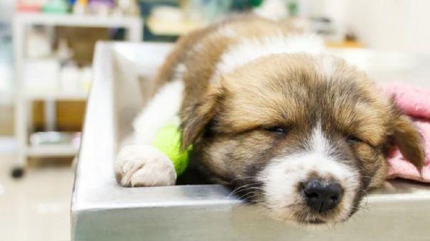 La historia de un virus: el Parvovirus canino en el Perú