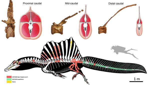Spinosuaurs, un dinosaurio terópodo, vivía y se movía por el agua propulsado por la cola.