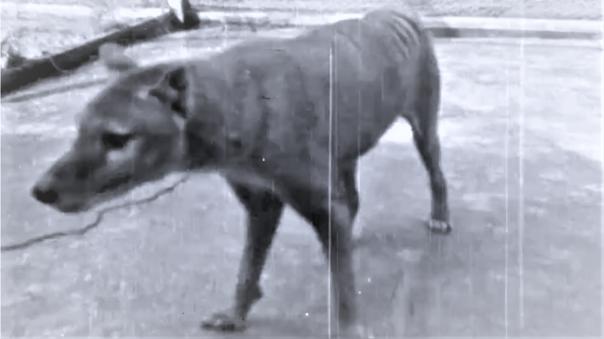 El Tigre de Tasmania en una de sus últimas apariciones delante de cámaras