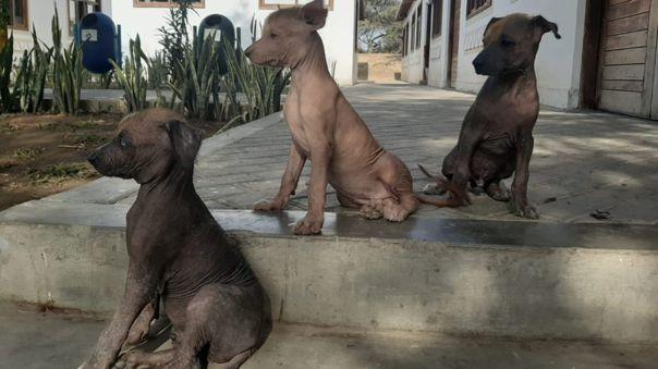 Perritos peruanos se convierten en guardianes del Museo Túcume