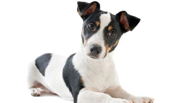 Tiempos de cuarentena: ¿Cómo saber si tu perro tiene otitis y cómo tratarlo?