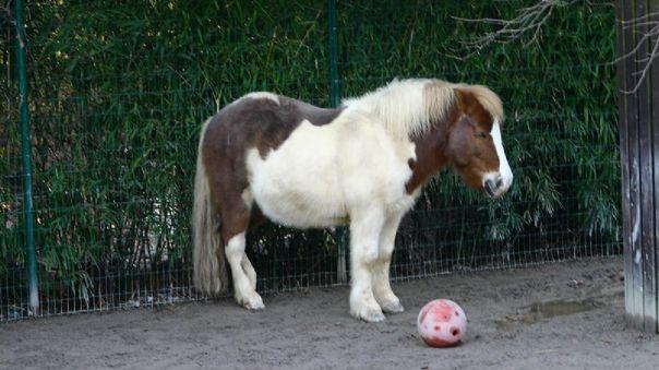 Shetland Pony - Fotografía referencial