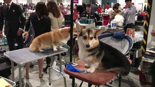 Antes de la aparición de la COVID-19, el consumo de carne de perro mostraba un fuerte declive en China y cada vez más gente adopta canes como mascotas.