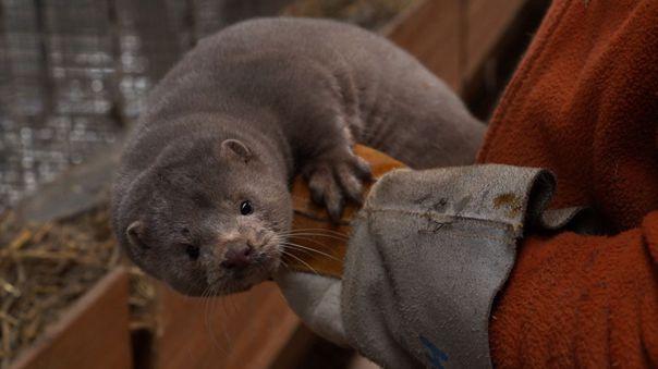 Las autoridades holandesas empezaron a eliminar a estos animales, apreciados por su pelaje, a principios de junio, cuando se descubrieron los primeros casos.