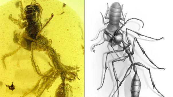 Hormiga 'Ceratomyrmex ellenbergeri' agarrando una ninfa de 'Capu
