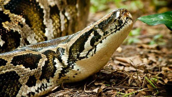 Florida padece una invasión de serpientes pitones birmanas que están localizadas en la reserva natural de los Everglades.