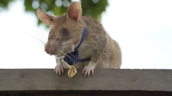 BRITAIN-CAMBODIA-AWARD-ANIMAL-RAT