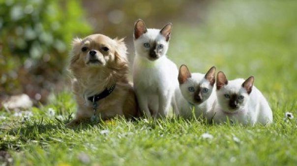 Para los amantes de los perros y gatos, adoptar ambas especies al mismo tiempo puede producir un conflicto interno, ya que es conocido que son animales que no pueden estar en un mismo lugar.