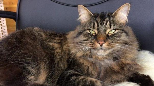 Un gato Maine Coon que demuestra el movimiento de los ojos entrecerrados.