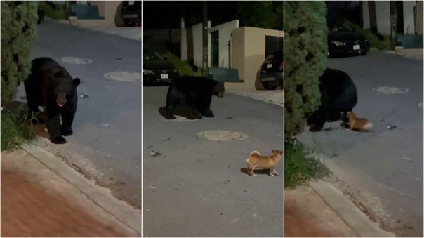 El oso parecía asustado con el chihuahua.