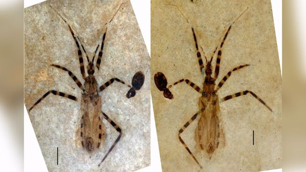Fósil de insecto asesino