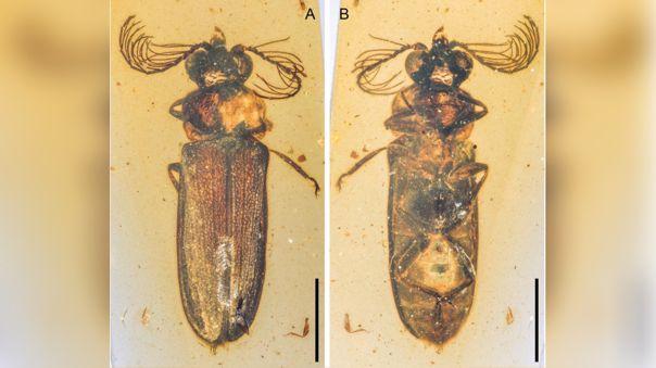 Fósil de Escarabajo de luz