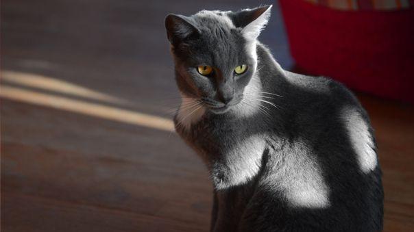 El gato que ha resultado positivo en la prueba tiene entre 4 y 5 años y reside con una familia que le transmitió el virus.