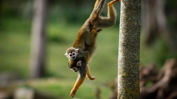 Las autoridades indias luchan contra la proliferación de monos en Nueva Delhi.