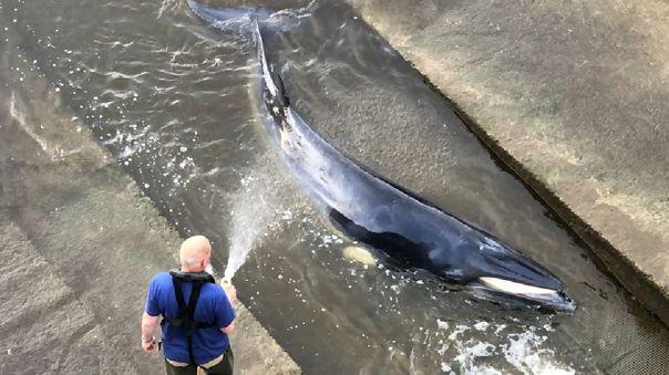 Rescate de ballena varada