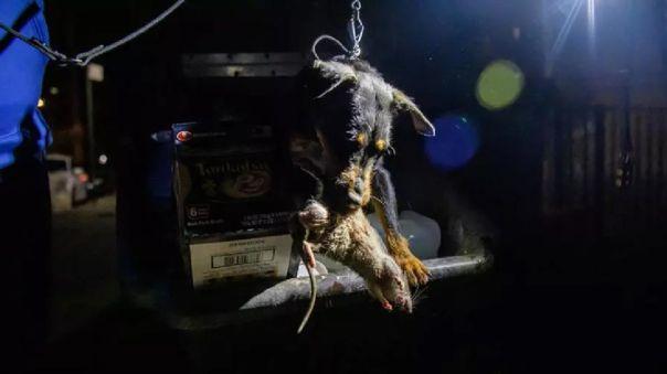 Los asesinos de ratas de Nueva York: perros y sus dueños a la caza de roedores
