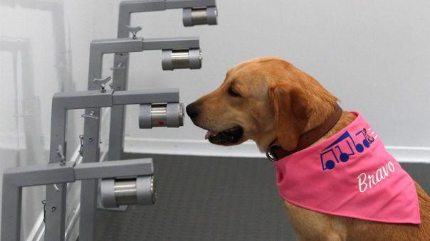 Perros adiestrados para la detección de casos de infección por la COVID-19
