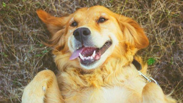Cachorros de perro nacen con la capacidad genética de entender a los humanos