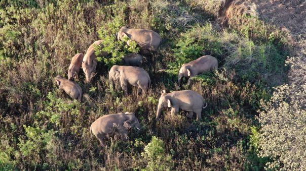 China usa drones y bananos para conducir a elefantes de vuelta a casa