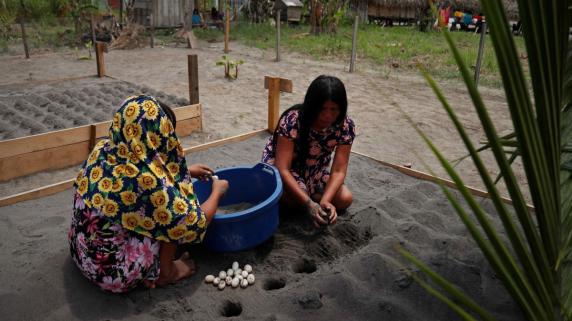 Un grupo de mujeres Kandozi de la comunidad Musa Karusha siembran huevos de la tortuga Taricaya